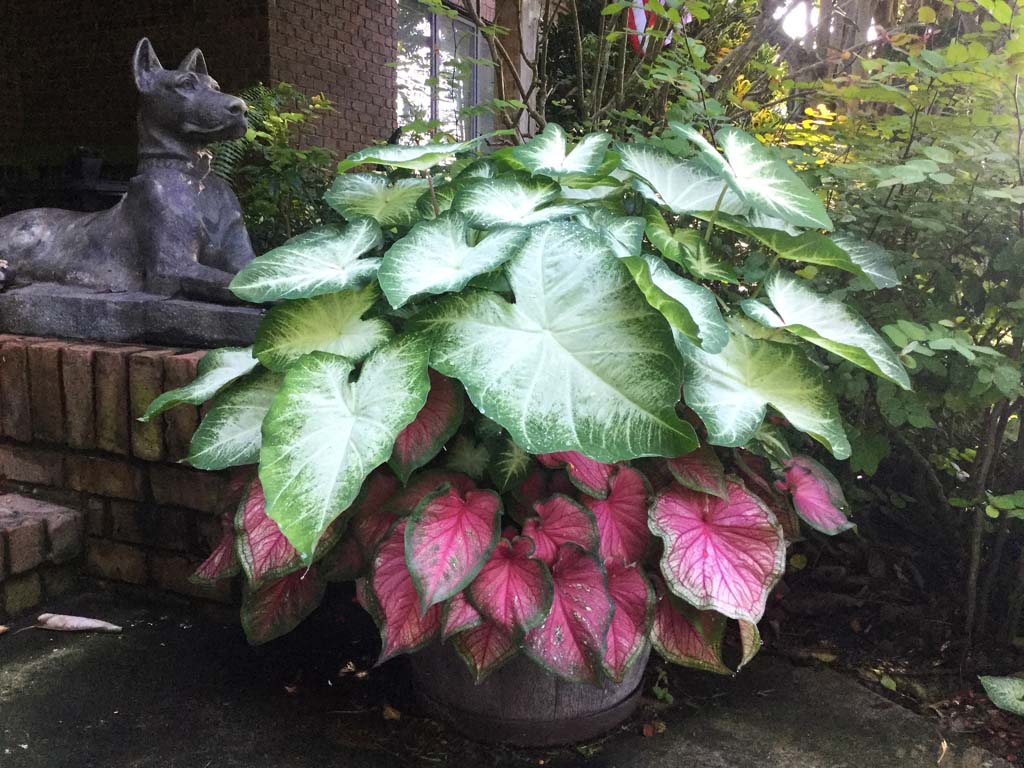 Large whisky barrel of white Aaron and pink Florida Sweetheart caladiums beside a bronze statue of a Great Dane Happiness Farms Caladiums