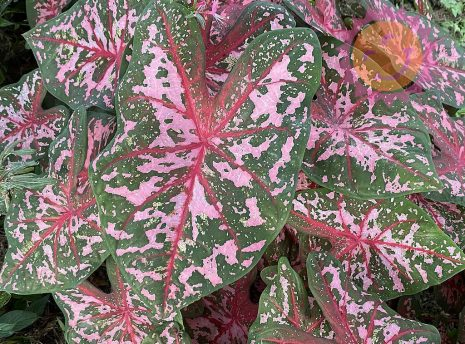 Carolyn Whorton Pink Fancy Leaf Caladiums