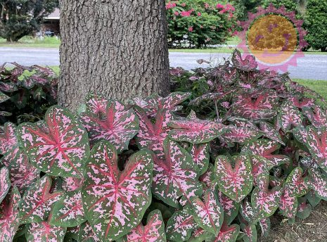 Carolyn Whorton Pink Fancy Leaf Caladiums around oak tree