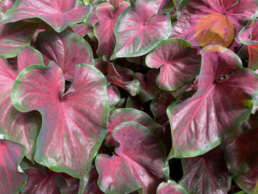 Dragon Heart Red Lance Leaf Caladiums