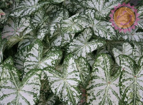 Florida Blizzard White Fancy Leaf Caladium