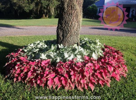 Florida Blizzard White Fancy Leaf and Passionista Pink Lance Leaf Caladiums