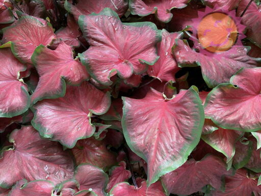 Florida Red Ruffles Red Lance Leaf Caladiums