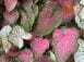 Lance Leaf Rainbow Mix Caladiums close up