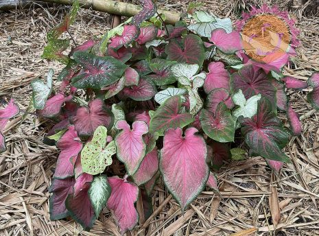 Lance Leaf Rainbow Mix Caladiums planted in a cluster