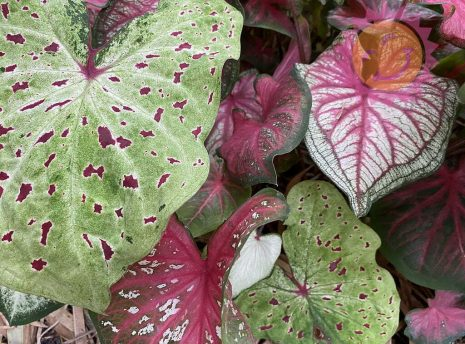 Lance Leaf Rainbow Mix Caladiums up close