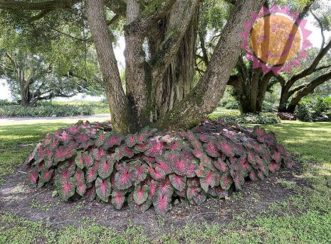 Red Flash Red Fancy Leaf Caladiums around tree