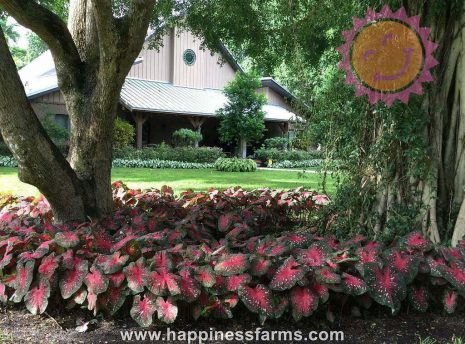 Red Flash Red Fancy Leaf Caladiums under trees