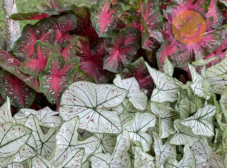 Red Flash Red and Cranberry Star White Fancy Leaf Caladiums