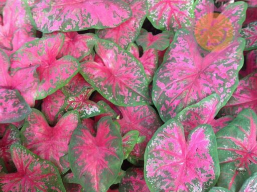 Scarlet Beauty Red Fancy Leaf Caladiums
