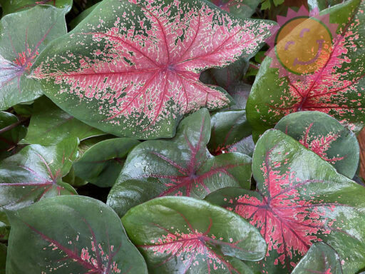 Thomas Tomlinson Red Fancy Leaf Caladiums