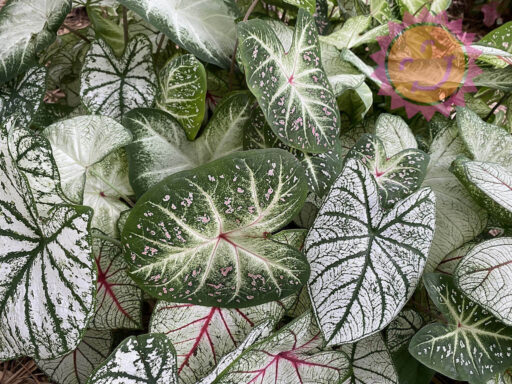 White Fancy Leaf Mix Caladiums